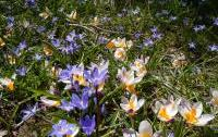 Crocus sieberi and  Scilla nana